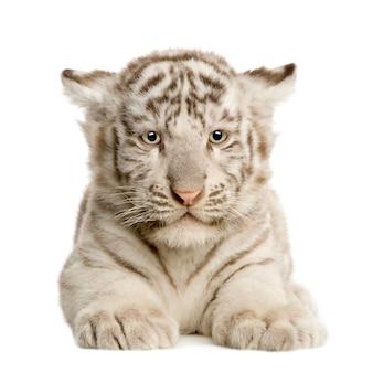 Cucciolo di tigre bianco (2 mesi) isolato