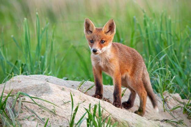 Cucciolo di volpe rossa che sta su una collina sabbiosa vicino alla tana e allo sguardo