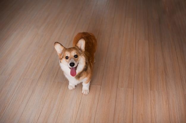 Cucciolo di welsh corgi pembroke a casa, cane sorridente felice.