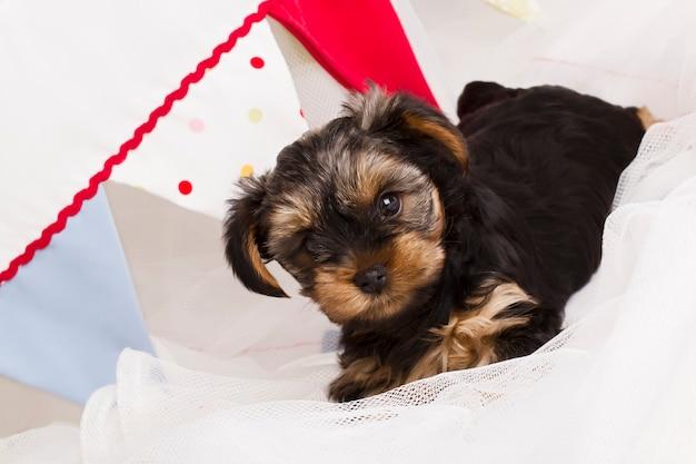 Cucciolo di yorkshire terrier in studio close-up