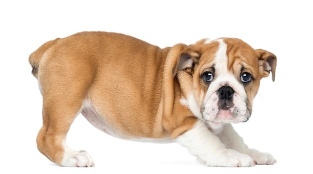 Cucciolo diritto del bulldog inglese, isolato su bianco