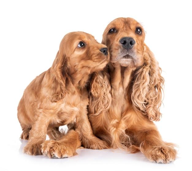 Cucciolo e madre cocker spaniel