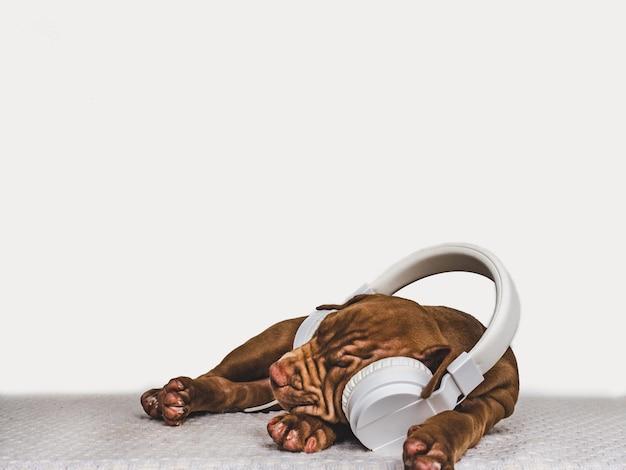 Cucciolo grazioso di colore del cioccolato che ascolta la musica