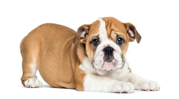 Cucciolo inglese del bulldog che si trova e che affronta, isolato