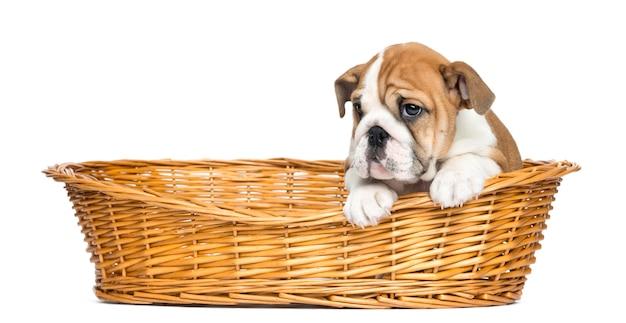 Cucciolo inglese del bulldog in un cestino di vimini isolato