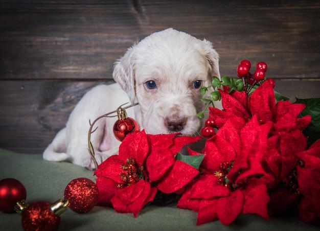 Cucciolo inglese dell'incastonatore con i fiori rossi della stella di natale
