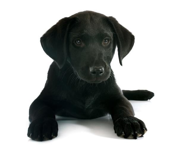 Cucciolo labrador retriever