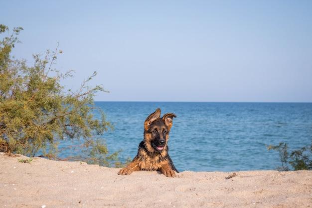 Cucciolo maschio del pastore tedesco alla spiaggia