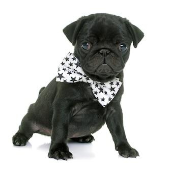 Cucciolo nero pug
