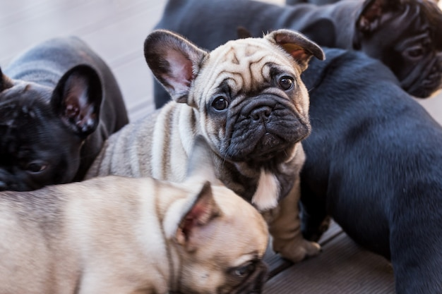 Cucciolo piccolo bulldog francese
