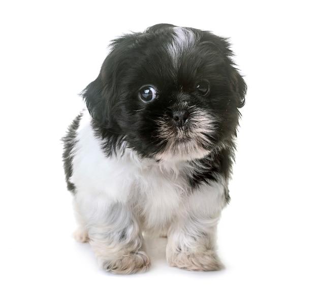 Cucciolo shih tzu in studio