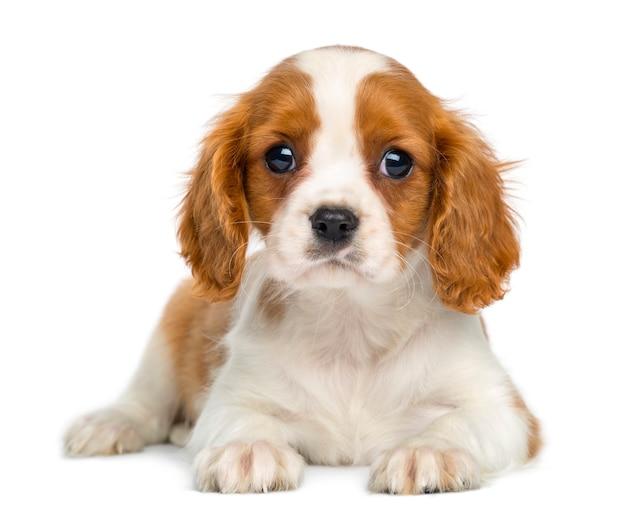 Cucciolo sprezzante di re charles puppy che si trova e che affronta isolato su bianco