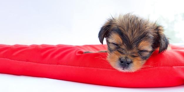 Cucciolo sveglio addormentato su un materasso rosso