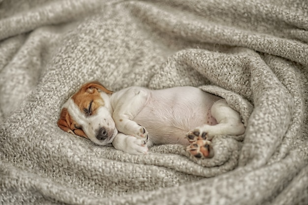 Cucciolo sveglio di jack russell del cucciolo che dorme sotto la coperta di lana.