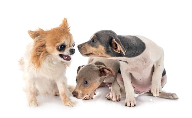 Cucciolo terrier brasiliano e chihuahua