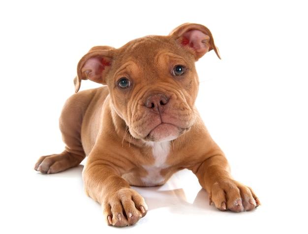 Cucciolo vecchio bulldog inglese