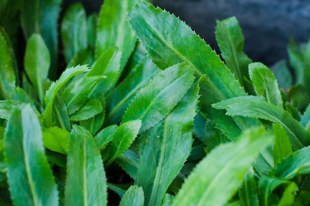 Culantro verde fresco per il concetto sano in giardino.