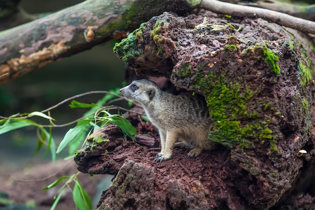 Curios meerkat suricate nella cavità del legno