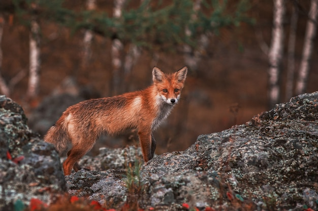 Curiosa volpe rossa nel suo habitat naturale.