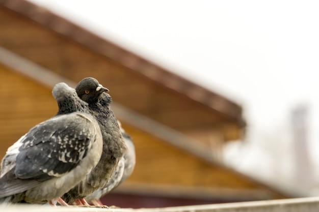 Curiosi piccioni urbani