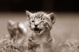Curioso gattino