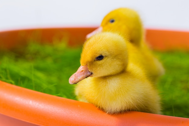 Cute baby easter duck in the grass