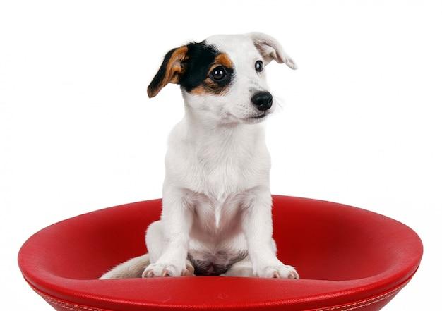 Cute jack russell seduto su uno sgabello rosso