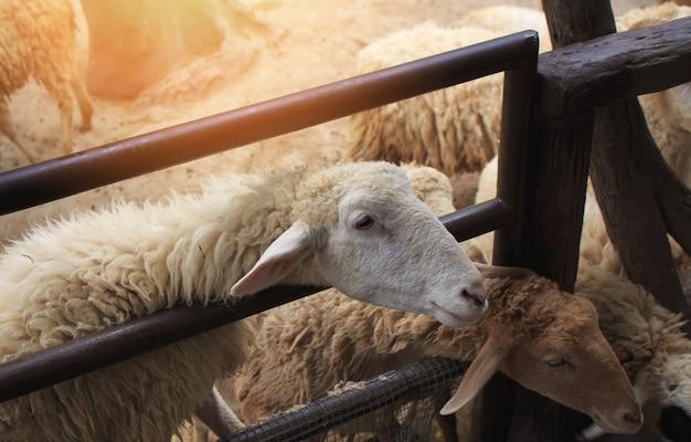 Cute pecore in fattoria.