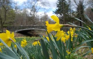 Daffodil da vicino
