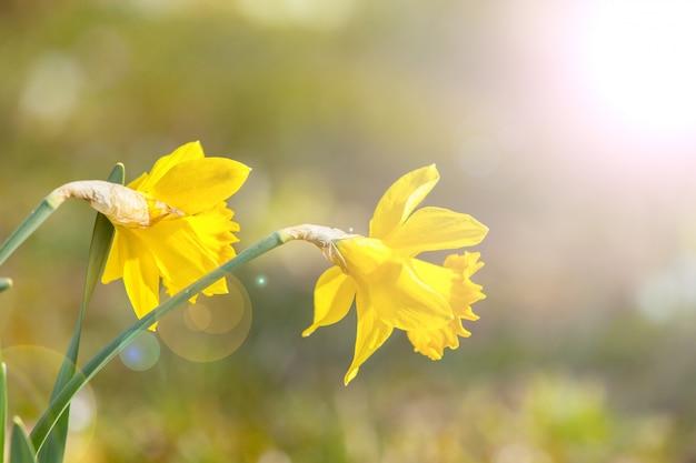 Daffodils al sole del mattino