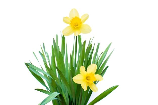 Daffodils su bianco