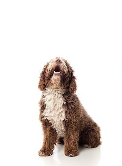 Dai capelli lunghi cane marrone guardando in alto