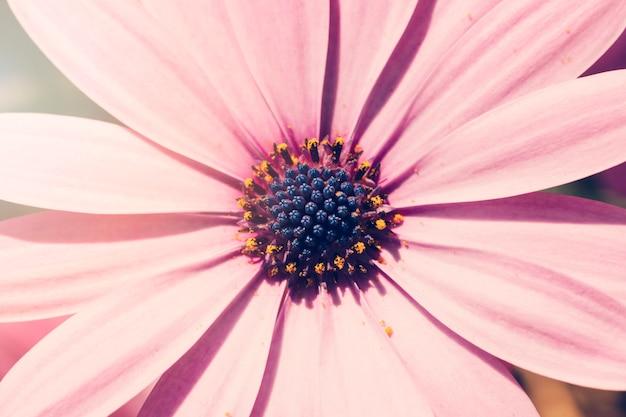 Daisy rosa da vicino