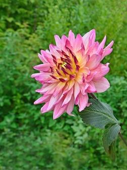 Dalia giallo-rosa