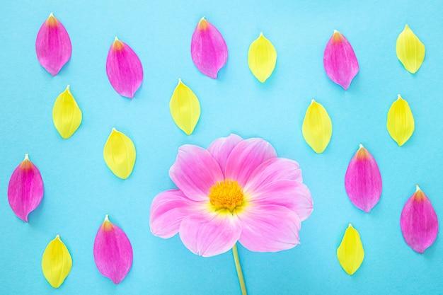 Dalia rosa e petali gialli su fondo blu
