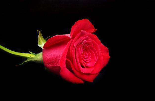 Decorazione per san valentino con rosa rossa di lusso su sfondo nero