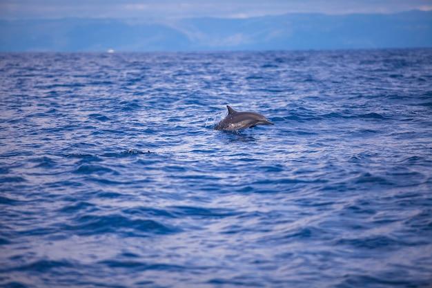 Delfini che nuotano in mare aperto, bohol, filippine