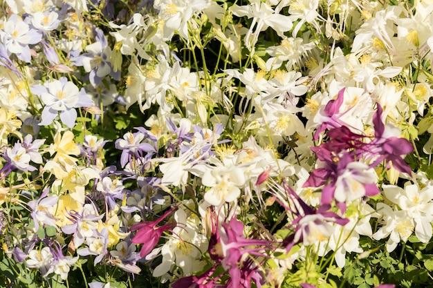 Delicato misto fiori di colombina in un mercato floreale