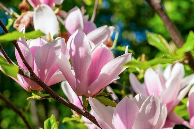 Delicato ramo fiorito di magnolia