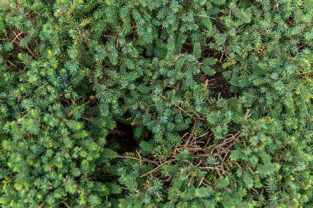Denso fogliame di conifere su rami di pino. avvicinamento.