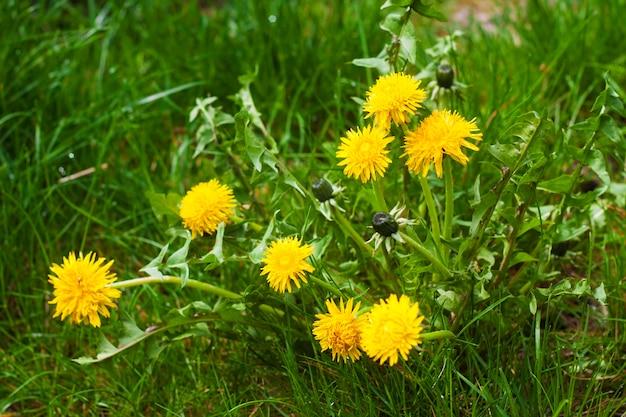 Dente di leone giallo di fioritura in primavera