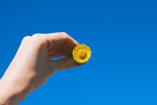 Dente di leone giallo in una mano femminile contro un cielo blu, primo piano