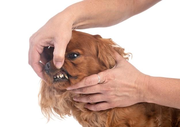 Denti del cavalier king charles