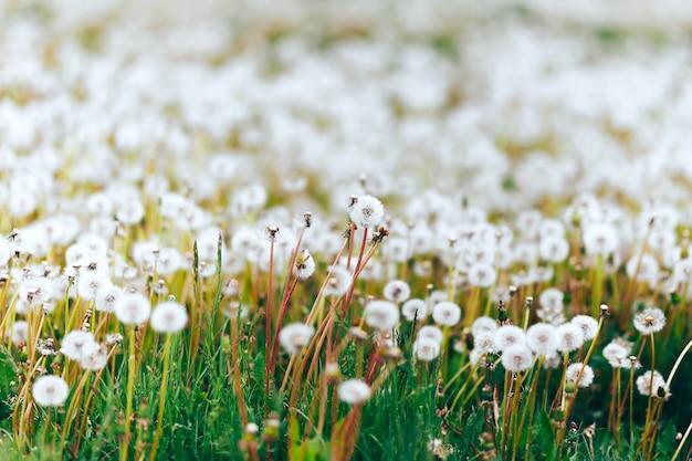 Denti di leone bianchi dei semi sul campo su erba verde