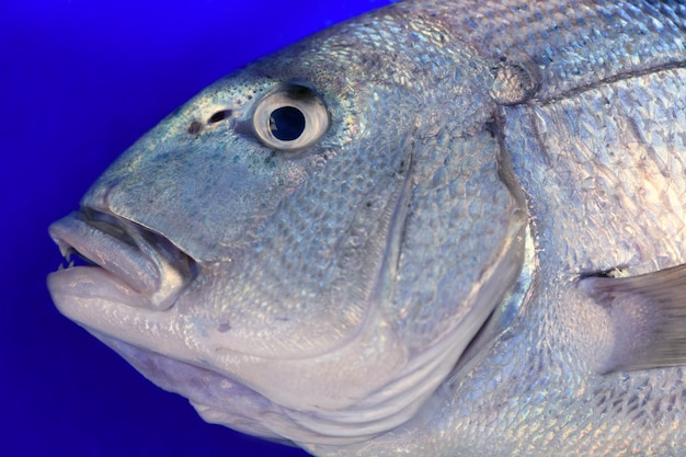 Denton, pesce mediterraneo di sparus