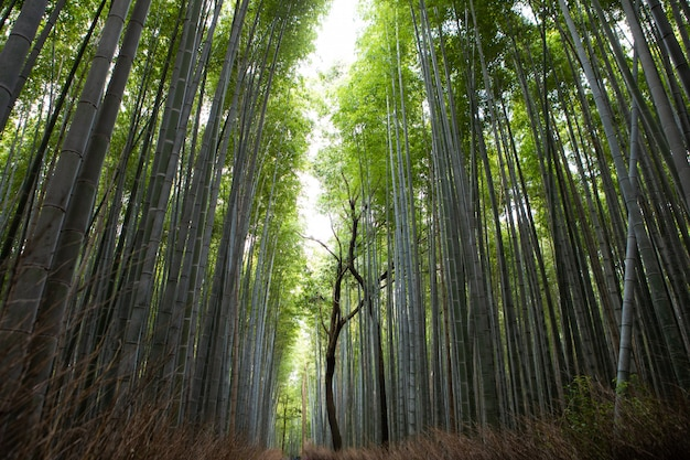 Destinazione di viaggio di bambù della foresta di arashiyama nel giappone kansai