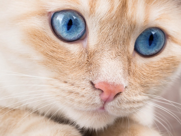 Dettagli il colpo delle zampe molli del gatto mentre si siedono sulla tavola, primo piano sveglio del gatto del viso arrossato