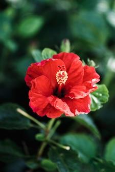 Dettaglio del fiore rosso tropicale