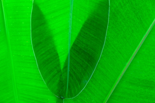 Dettaglio della foglia di banana fresca
