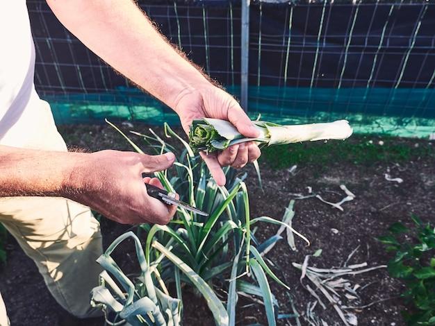 Dettaglio delle mani di un vecchio che taglia le foglie di un porro di frutteto.